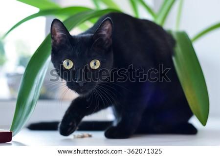 Bombay Cat Stock Image...