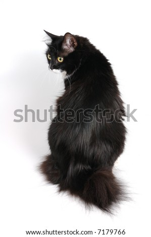 black cat of kuril bobtail breed - stock photo