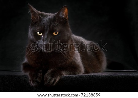 black cat on dark background domestic animal mysterious patient and curious sometimes spooky and evil brings bad luck Halloween kitten is patiently looking staring at night to catch a prey copy space - stock photo