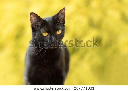 Black  Cat portrait against a yellow out of focus background - stock photo