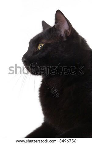 black cat portrait, isolated - stock photo