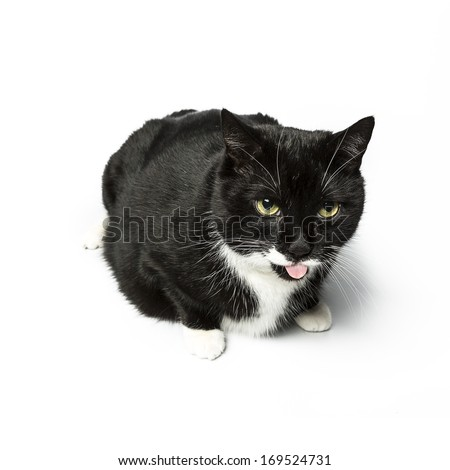 black cat sitting and licking with tongue domestic animal on white background