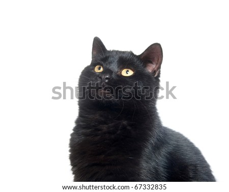 Black cat sitting and playing on white background