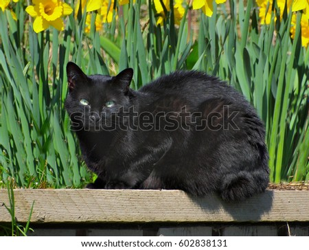 Black cat sitting under blooming yellow daffodils in the spring garden