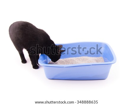 Black cat sniffing sand in her litter box before going in, on white - stock photo