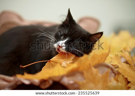 Black cat with autumn leaves.  Small predator. Black kitty. Small cat. - stock photo