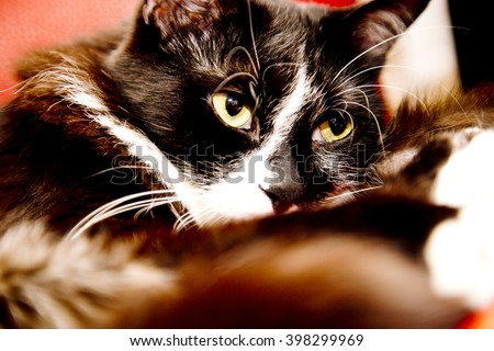 Black cat with green eyes,black cat on legs,cat in the room,cat in light,loving cats,black cat,head cat,closeup cat,cat looking to me, beautiful cats, white and black cats, strong cat,domestic cats - stock photo