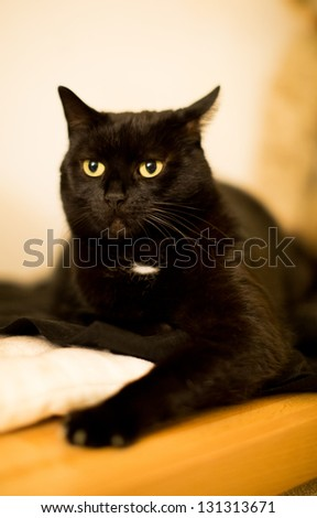 Black cat with mystic black eyes lying attentively on the flour - stock photo