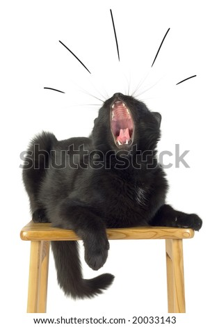 Black Cat with open Mouth. - stock photo
