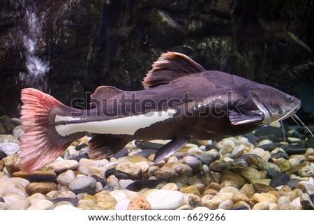 black catfish - stock photo
