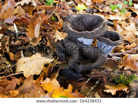 Black chanterelle mushrooms, fungi aka cepes, trumpets of the dead.