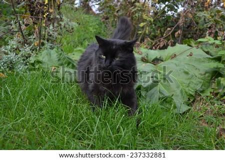 Black Chantilly Tiffany cat in the garden - stock photo