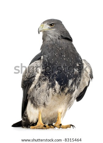 Black-chested Buzzard-eagle () - Geranoaetus melanoleucus in front of a white background