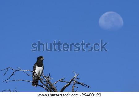 Black Chested Snake Eagle looking at the moon in daylight in Kgalagadi - stock photo