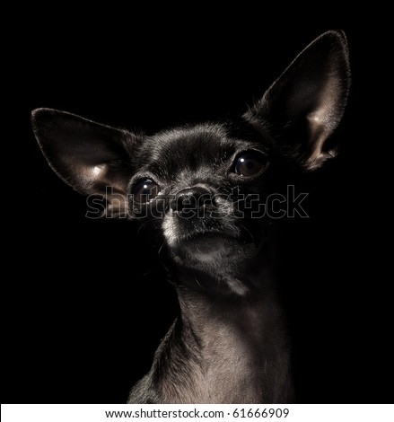 black chihuahua - stock photo