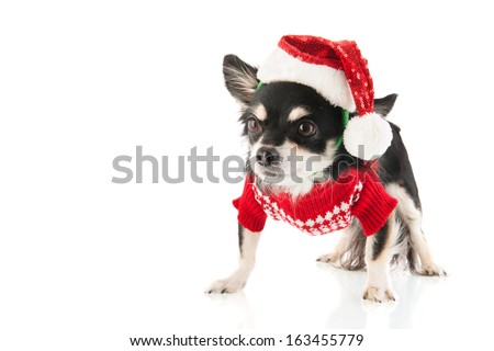 Black Chihuahua dressed for Christmas  isolated over white background - stock photo