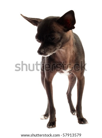 black chihuahua feel lonely