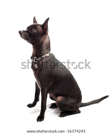 black chihuahua isolated - stock photo