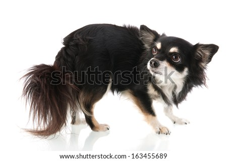 Black Chihuahua isolated over white background - stock photo