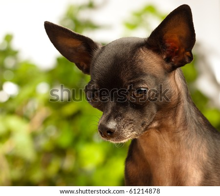 black chihuahua on garden