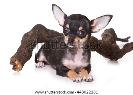 Black Chihuahua puppy and the tree (isolated on white) - stock photo