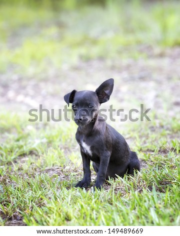 Black chihuahua puppy with floppy ear - stock photo