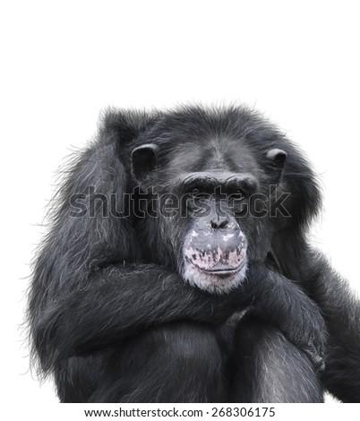 Black Chimpanzee Isolated On White Background - stock photo