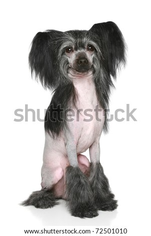 Black Chinese Crested Dog. Portrait on a white background - stock photo
