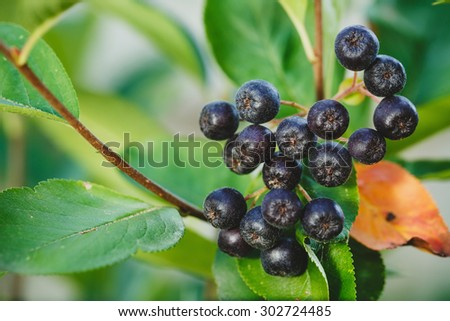 Black Chokeberry (Aronia melanocarpa) - stock photo