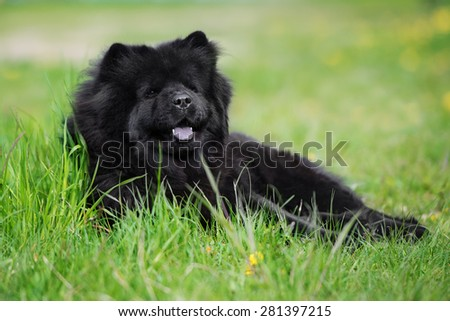 black chow chow dog lying down outdoors - stock photo