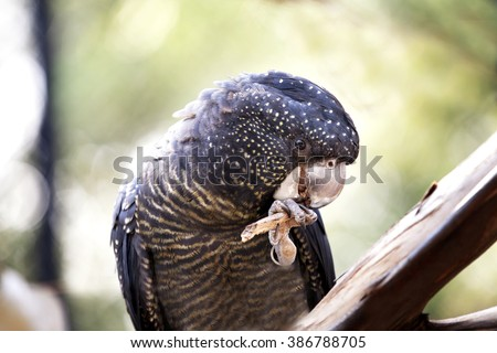 Black Cockatoo sitting on branch eating a stick - stock photo