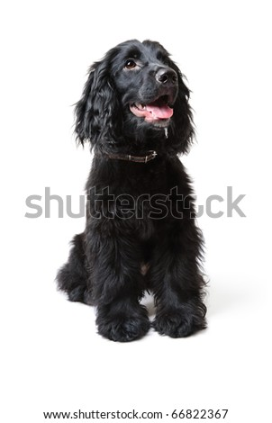 Black Cocker Spaniel (five months old). Isolated on white - stock photo
