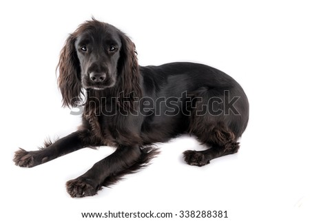 Black cocker spaniel puppy isolated on white background - stock photo