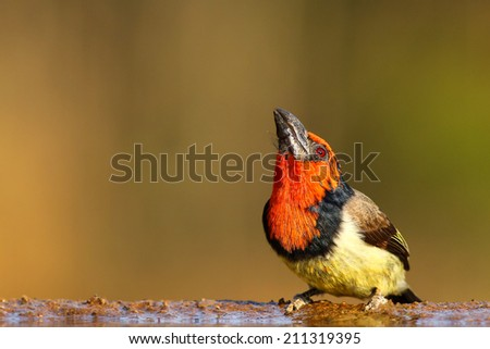 Black collared barbet standing at edge of quiet pond - stock photo