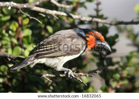 Black Collared Barbet with a red head and powerful beak