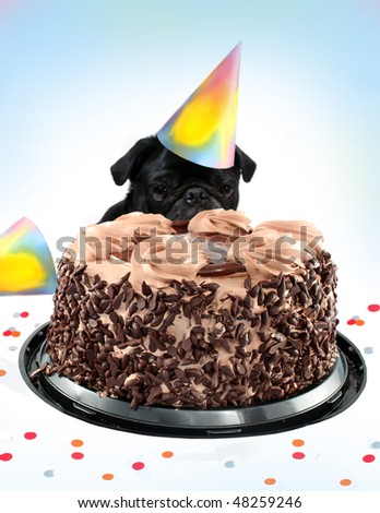 Black  colored Pug peeking behind a birthday black forest chocolate cake wearing a party hat, great for a postcard - stock photo