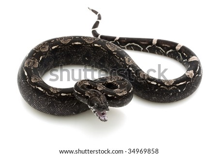 black Columbian red-tailed boa (Boa constrictor constrictor) isolated on white background. - stock photo