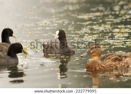 black coots ( Fulica atra ) on the water surface, searching for food - stock photo