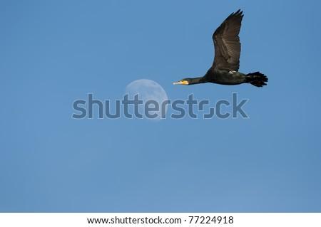 black cormorant  flying,phalacrocorax carbo spece. - stock photo