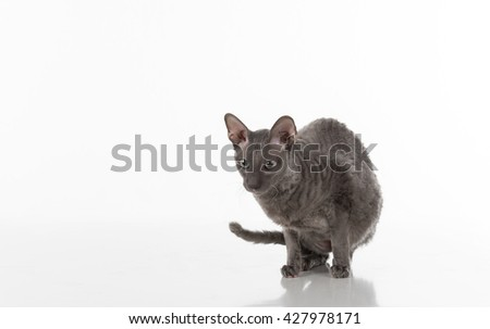 Black Cornish Rex Cat Sitting on the White Table with Reflection. White Background.