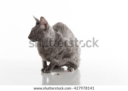 Black Cornish Rex Cat Sitting on the White Table with Reflection. White Background. Portrait. Food on the ground. - stock photo
