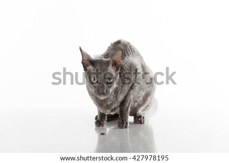 Black Cornish Rex Cat Sitting on the White Table with Reflection. White Background. Portrait. Food on the ground - stock photo