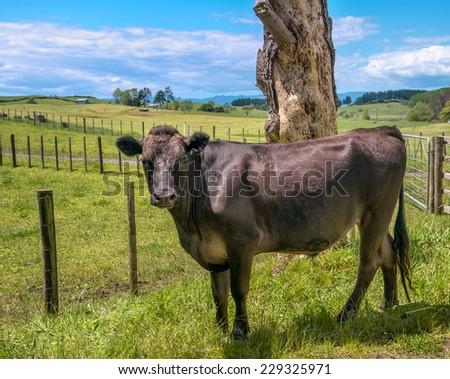 Black cow - stock photo