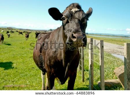 Black cow. - stock photo