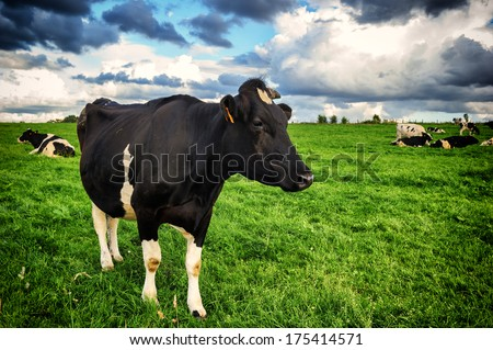 Black cow at green field  - stock photo