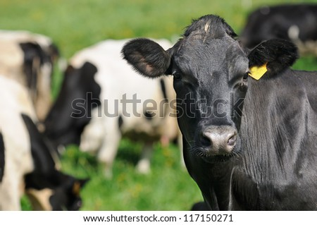 Black Cow Close-Up Looking at Camera - stock photo
