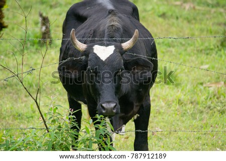 Black cow going through a barb wire fence, grass is greener on the other side