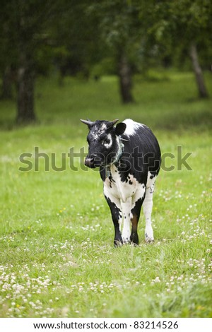 Black cow on a green field