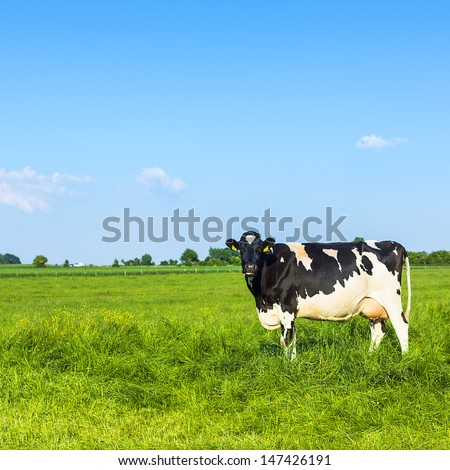 Black cow on meadow landscape with blue sky - stock photo