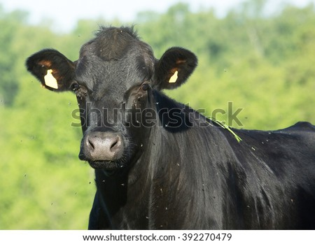 Black cow with flies irritant in the eyes. - stock photo